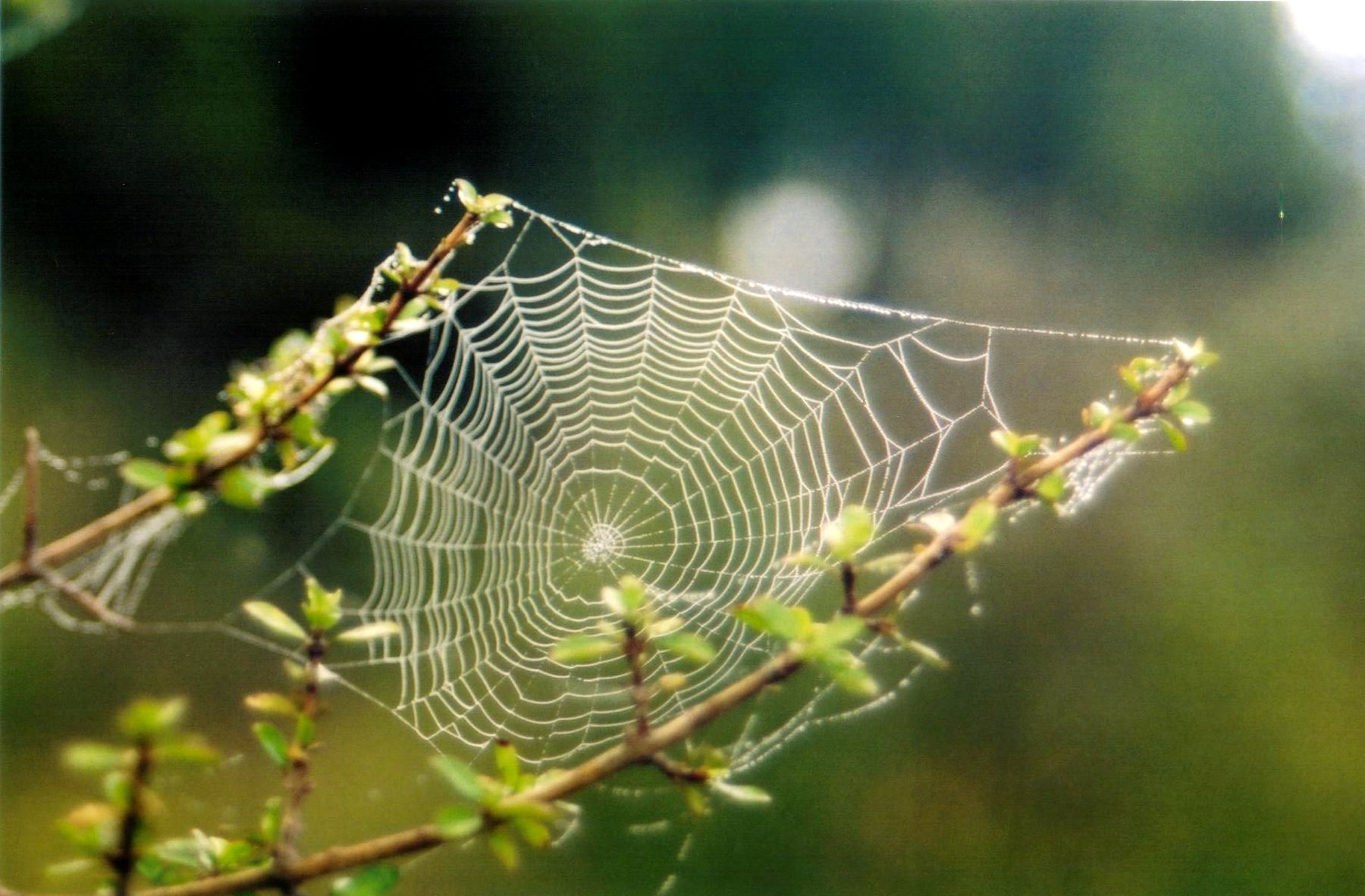 a cobweb with dew drops strung between two branches in new zealand